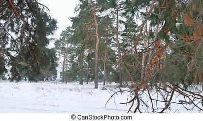 trees forest christmas tree, snow nature frost cold...