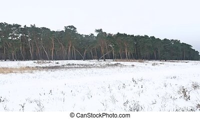 forest trees christmas tree, snow frost cold landscape the...