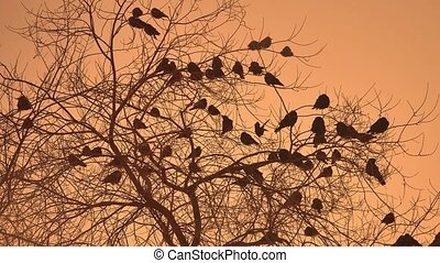 sunset crows flock of birds sitting on nature the tree...