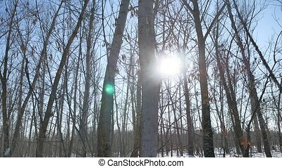 Winter forest trees in nature the snow glare of the sun, sunlight landscape