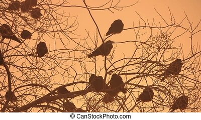 sunset crows flock nature of birds sitting on the tree cold...