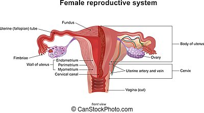 The female reproductive system. Illustration, Vector. - The...