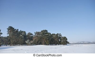 pine forest lot of snow on the background of blue sky,...