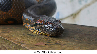 Approach to the head of the Anaconda on a wooden log....