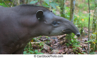 Profile view of Amazon Tapir with jungle background. Common...