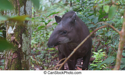 Front view of Amazon Tapir with jungle background. Common...