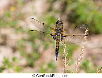 European Four spotted chaser dragonfly Libellula...