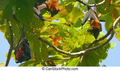 Flying foxes hangs on a tree branch and washes - Lyle's...