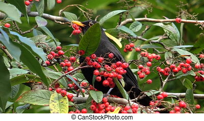 Blackbird eating red berries - European thrush or black bird...
