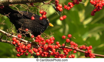 Blackbird eats berries poops and flies away - Blackbird on...