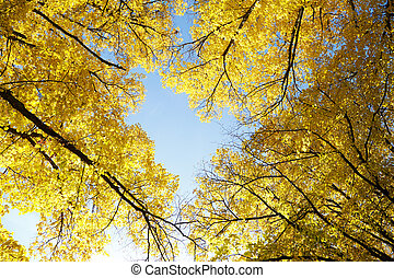 Yellow autumn treetops - Treetops seen from frog perspective...