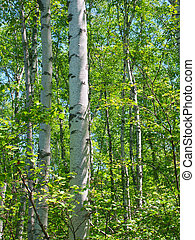Aspen Background - A dense stand of aspen trees at the...
