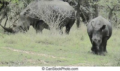 Rhinos in Kruger National Park in South Africa - Rhinos in...