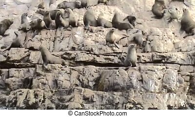 Sealions on cliff at Cape of Good Hope in South Africa -...