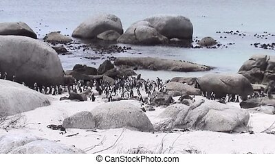 Zoom In on Pinguins in Simonstown (South Africa). - Pinguins...