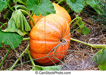 Cinderella Pumpkins growing on the vine almost ready for...
