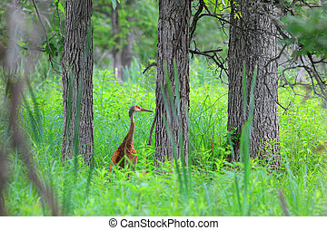 Sand hill crane in the middle of forest