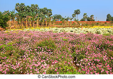 Colorful flower fields in India