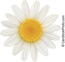 Daisy flower isolated, vector illustration.