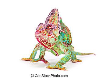 Veiled chameleon (chamaeleo calyptratus) smilling, close-up....