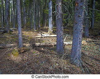 Thick forest at first light - Forest in Canada as the first...