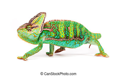 Veiled chameleon (chamaeleo calyptratus) smilling, close-up....