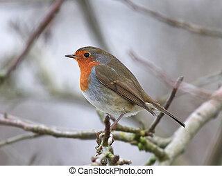 European robin (Erithacus rubecula) - European robin sitting...