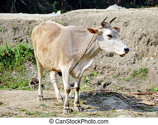 white cow animal isolated