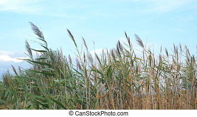 Reeds swaying in the wind - Slow motion shot of reeds waving...
