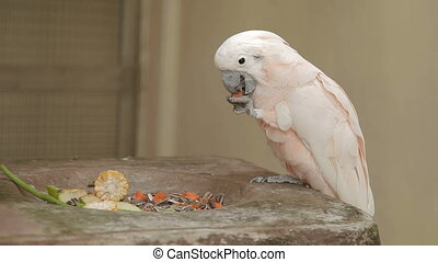 Salmon-crested cockatoo (Cacatua moluccensis) eats papaya....