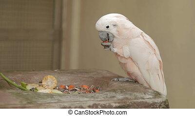 Salmon-crested cockatoo (Cacatua moluccensis) eats papaya....