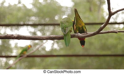 The rainbow lorikeet Trichoglossus moluccanus , colorful species of parrot. Malaysia.