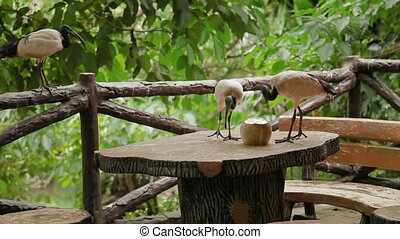 The African sacred ibis (Threskiornis aethiopicus). Pair of...