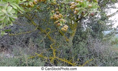Old wild pear tree full of ripe fruits. 4k. Other camera...