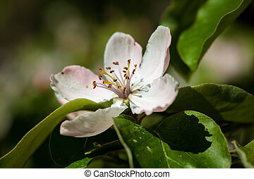 The quince (Cydonia oblonga), blooming, a small deciduous...