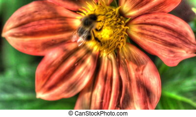 Bumblebee on dahlia flower - Bumblebee store honey dew from...