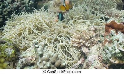 Clownfish Anemonefish in anemone. - Clown Anemonefish, in...