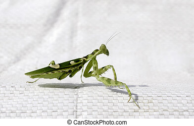 Mantodea hunters eat small animals, a beautiful but...