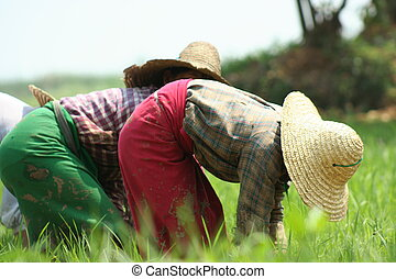 Ricefield - Myanmar women working in ricefield