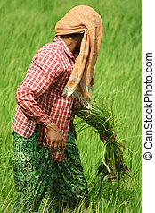 Ricefield - Myanmar women working in ricefield.
