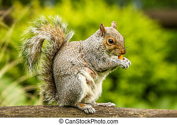 Squirrel eating nut - Close up of a grey squirrel eating a...