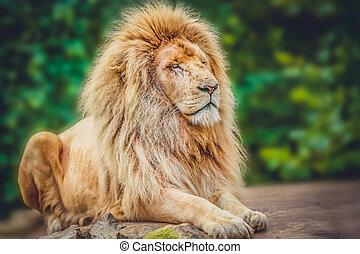 Porträt, löwe, stolz