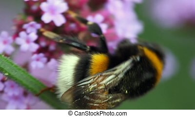 bumblebee sits on inflorescence and collects pollen