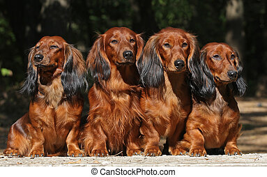 Four dogs sitting together - Four red Dachshund dogs sitting...
