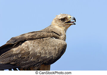 Tawny eagle (Aquila rapax) sitting on a branch tree, Africa,...