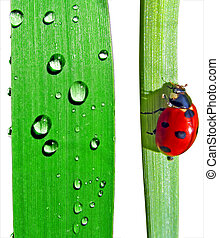 dripped and ladybug on sedge