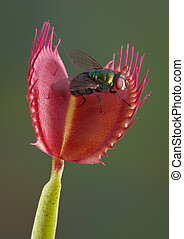 Fly in a venus fly trap - A fly is sitting on an open venus...