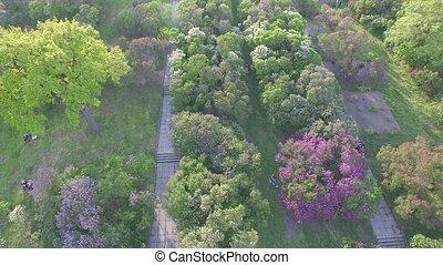 Blooming lilac in Botanic garden. Aerial view. - Hryshko...