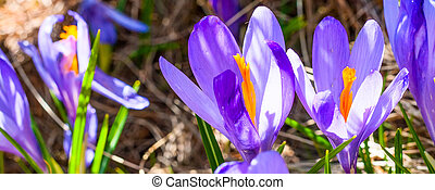 Close up group of blooming crocuses spring flowers - Spring...