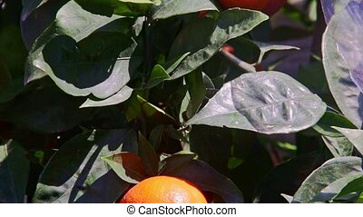 Closeup Two Large Mandarins in Green Tree Leaves - closeup...